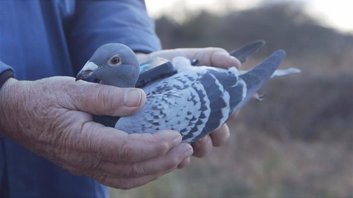 domesticated pigeon with sensor attached