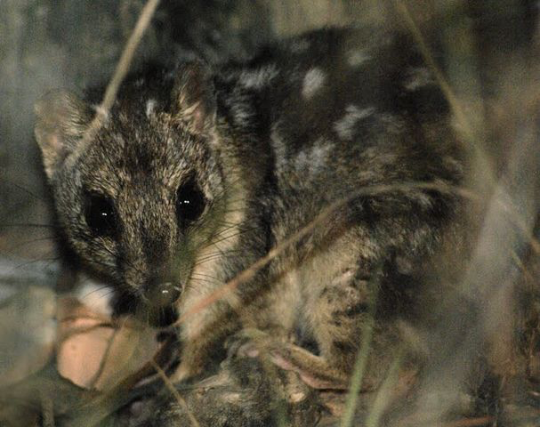 Northern Quoll