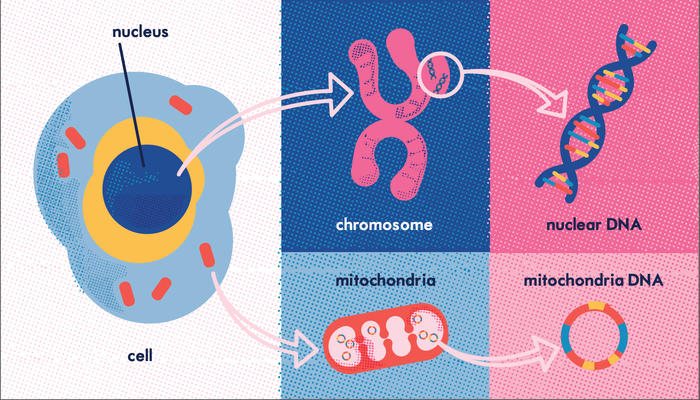 What is Mitochondrial DNA