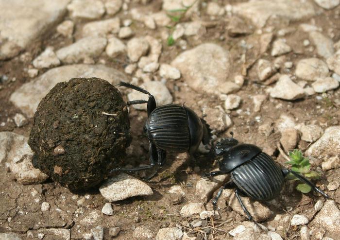 Taurus scarab beetle