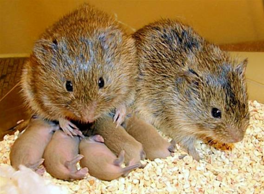 prarie vole family