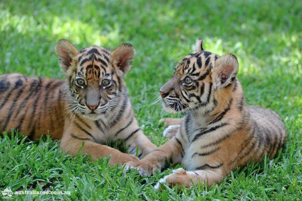 Twin Sumatran Tigers, Scout and Delilah