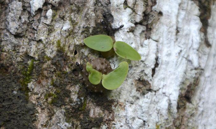 Fijian Ant