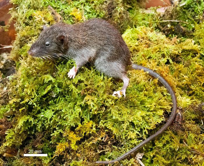slender rat in full scale