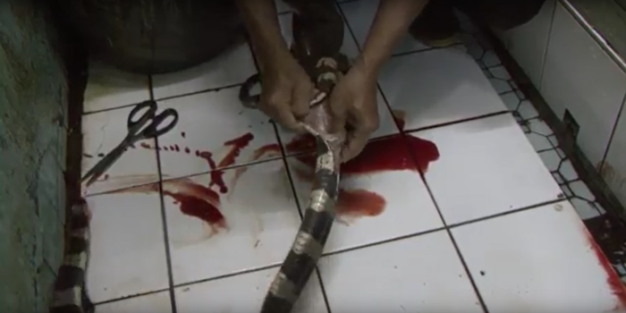 A bloodied, headless snake is skinned in one PETA video