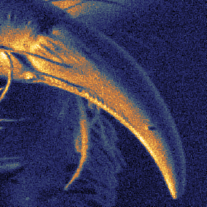 Close up of spider's fang imaged by the scanning helium microscope