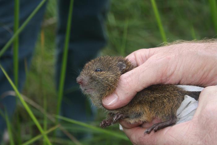 eastern swamp rat