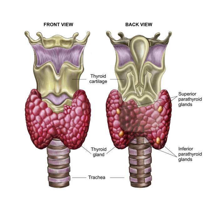 Anatomy of thyroid gland with larynx & cartilage.