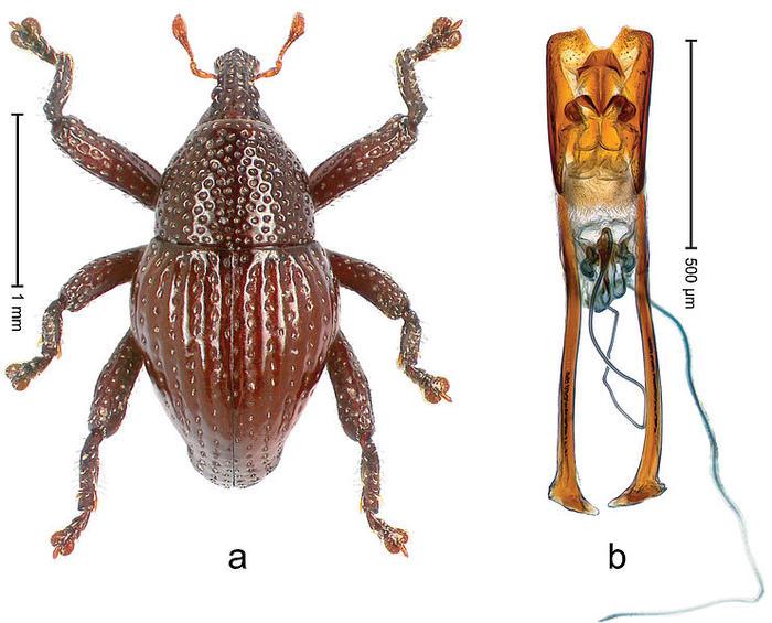 attenborough weevil