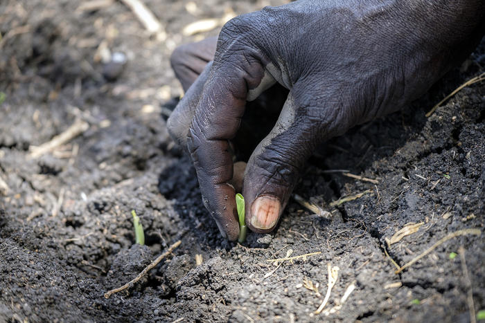 A South Sudanese refugee shows off a sprout of maze planted at Nymanzi refugee settlement in Northern Uganda.