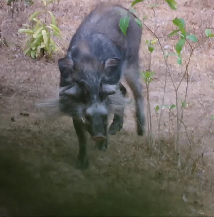 warty pig male