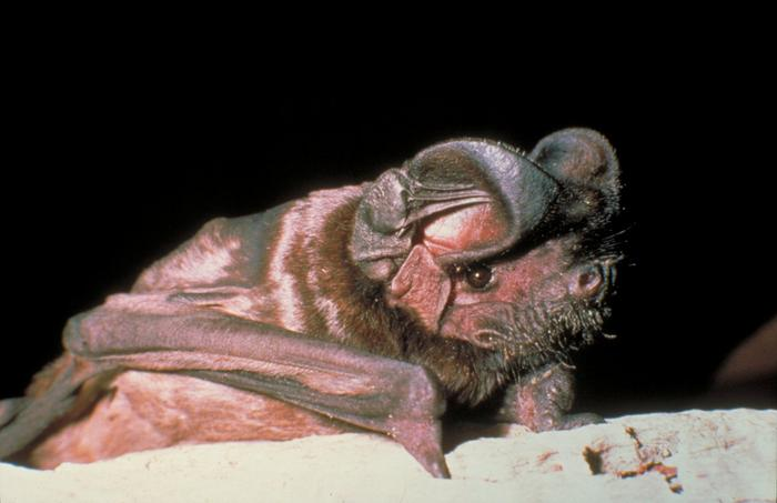 White-striped free-tailed bat