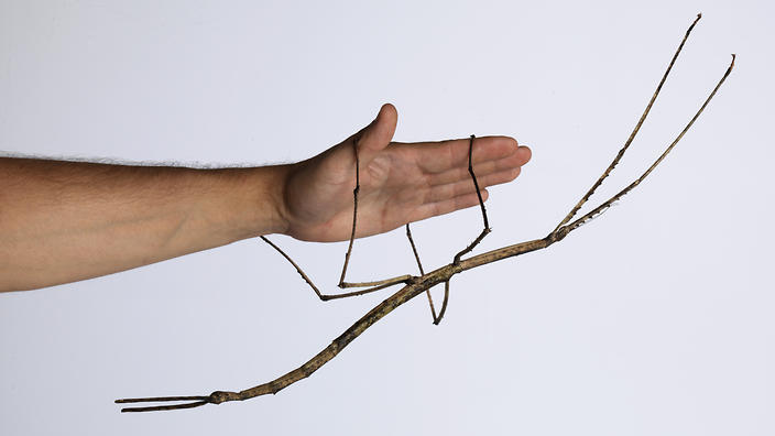 THE STICK INSECT CHEWS OFF A FEW MORE MALE HEADS 000220524c-39