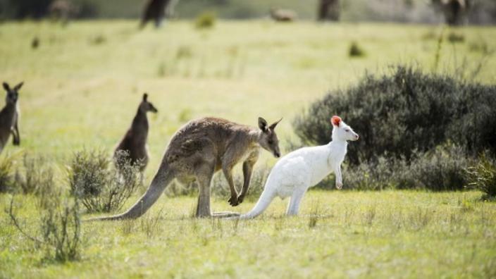 wild albino kangaroo
