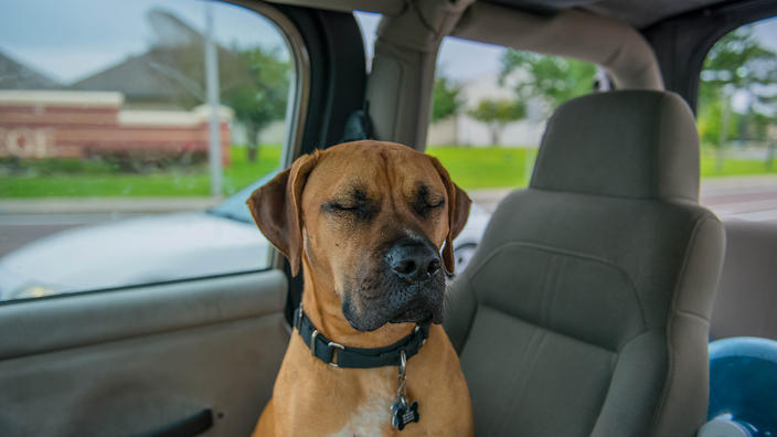 Dog with eyes closed in car