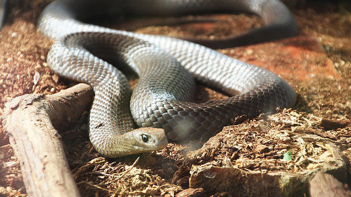 are australian snakes the deadliest in the world not even close