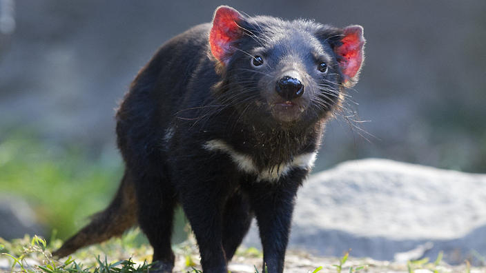 tasmanian devils are evolving rapidly to fight their deadly cancer