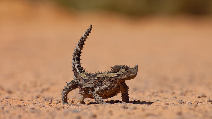 a thorny devil in the desert