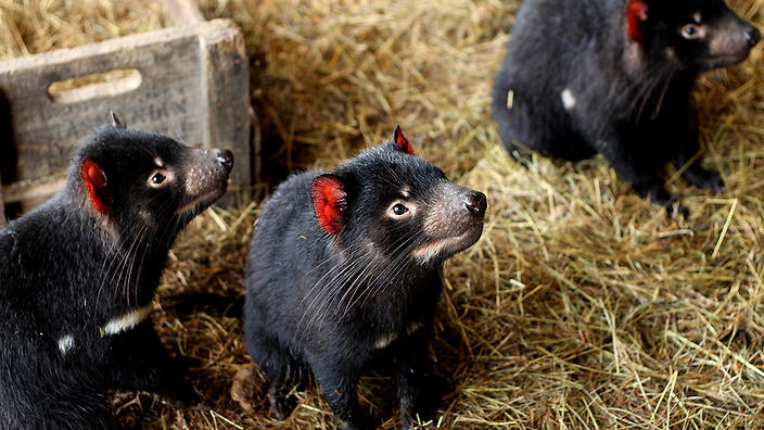 Tassie devils at a wildlife sanctuary in Tasmania