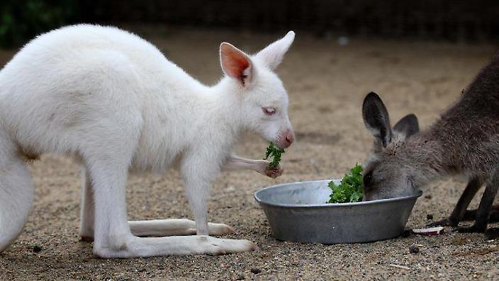 albino eastern gray kangaroo