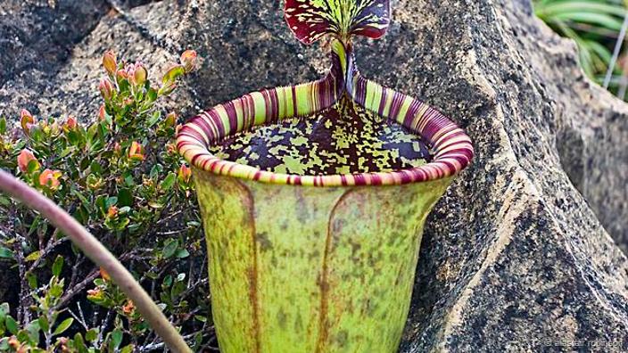attenborough pitcher plant
