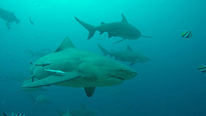 Habits of Great Barrier Reef bull sharks revealed in new tracking