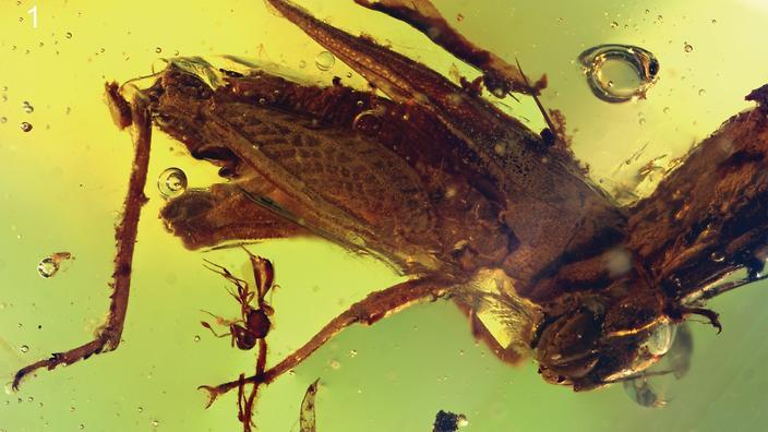 attenoborough grasshopper