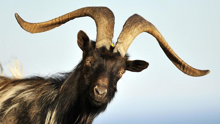goat.jpg?itok=h3R-LstP&mtime=1471463008