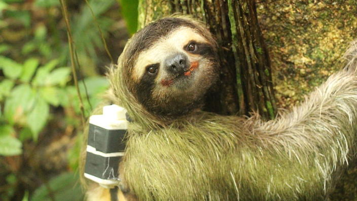 A sloth sports its backpack tracker