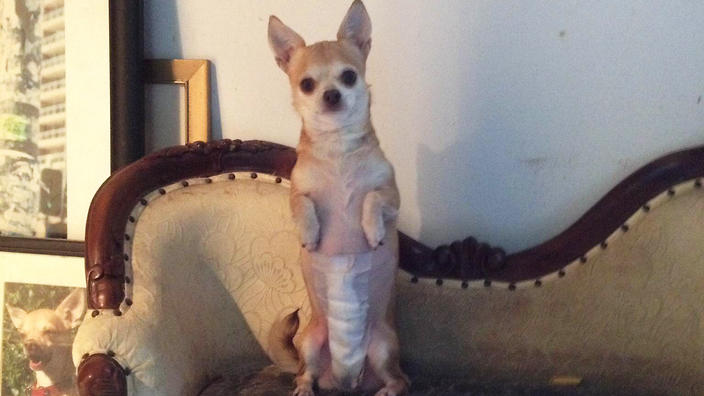 Coco in recovery mode, four days after surgery to have her spleen removed.