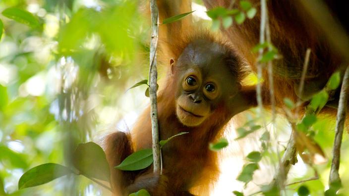 An orangutan in Sabangau forest, Borneo.