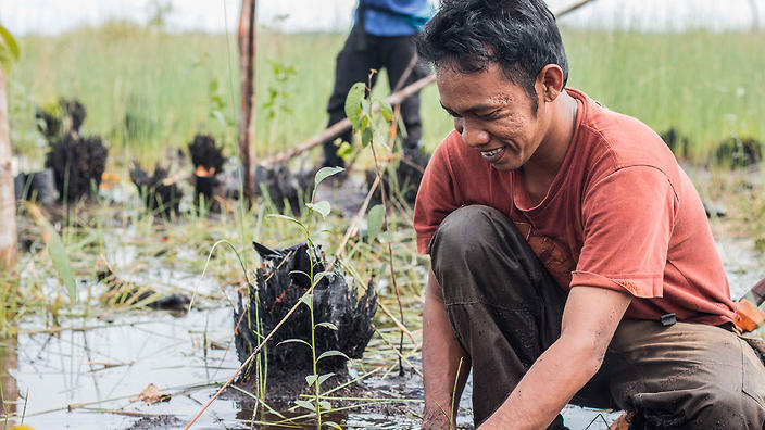 Planting saplings to restore peat-swamp forests, Indonesia.