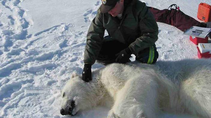 guard checking a polar bear
