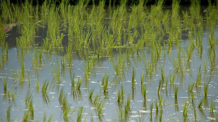 a shot of rice growing in water