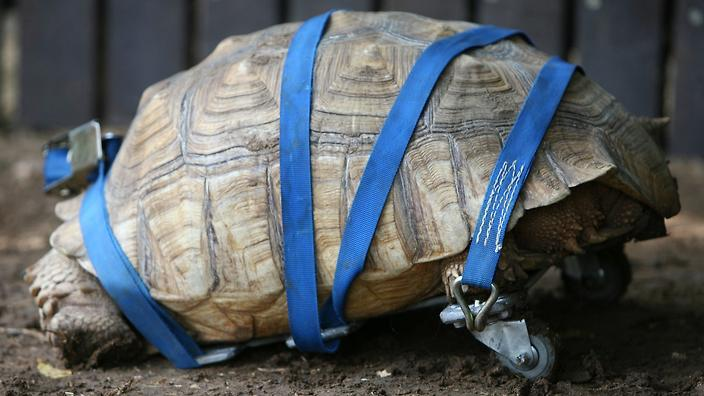 Check Out The Wheels This Indian Zoo Gave An Amputee Tortoise - Injured tortoise gets set lego wheels help move