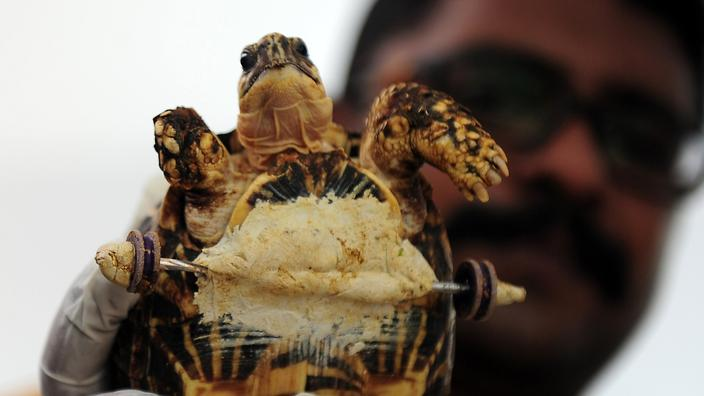 amputee tortoise with wheels