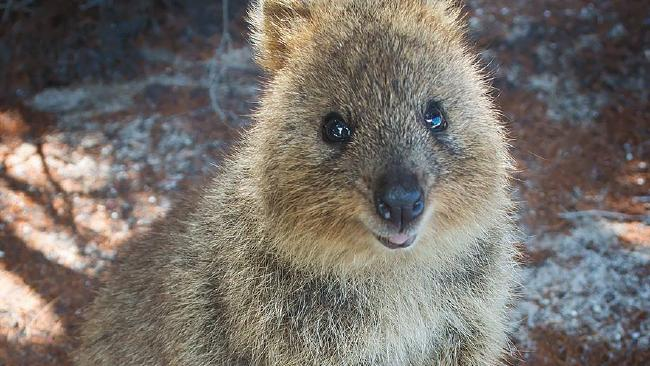 Steve The Quokka Is Missing Sbs Your Language
