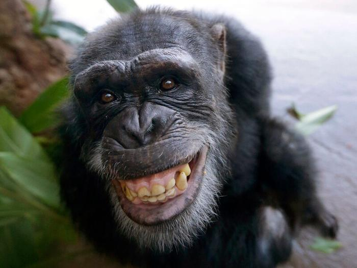 The chimpanzee is a species of great ape native to the forests and savannahs of tropical Africa.