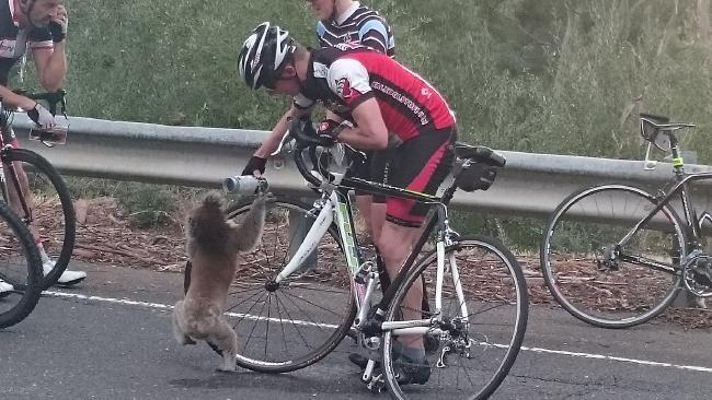A cyclist is giving water to a thirsty koala